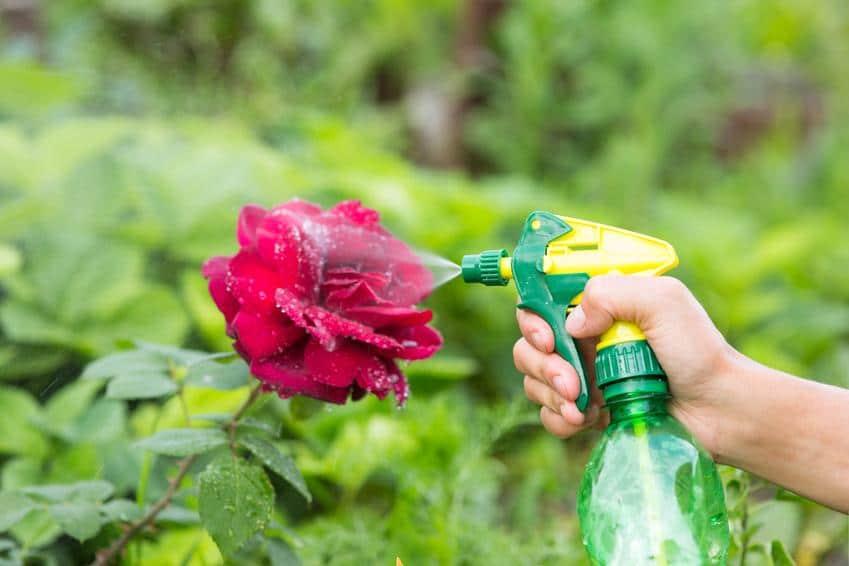 Schmierseifen- und Rapsölpräperate helfen gegen leichten Blattlausbefall an Rosen