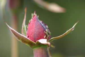 Blattlausbefall an Rosen vorbeugen und bekämpfen