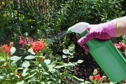 Insektizide gegen Blattläuse an Rosen